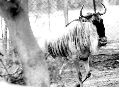 """海沧野生动物园总经理骆庆智说:""""园内的角马,海狮,白枕鹤等动物"""