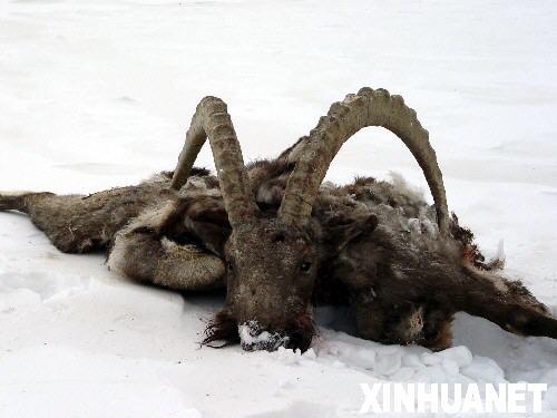 新疆南部地区10万余只野生动物遭受饥寒威胁(图)